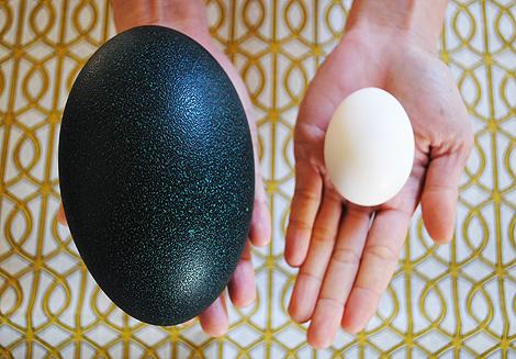 Emu-egg1